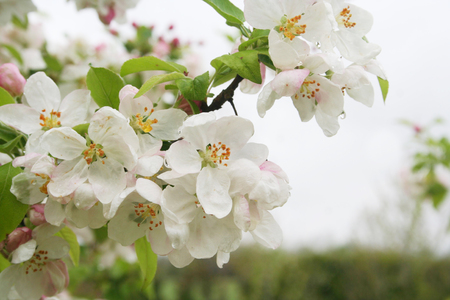 Pink and white flowers and spring flowers. Malus domestica