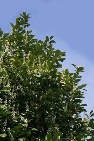 Cherry or English Laurel bush in bloom against blue sky. Prunus laurocerasus with flowers