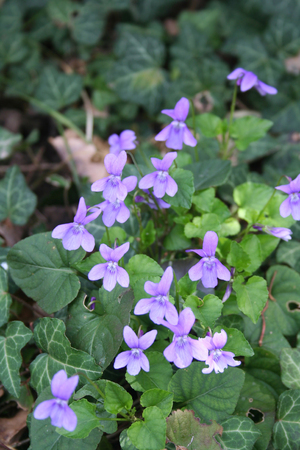 English or Common violets in the garden in early spring Stock Photo