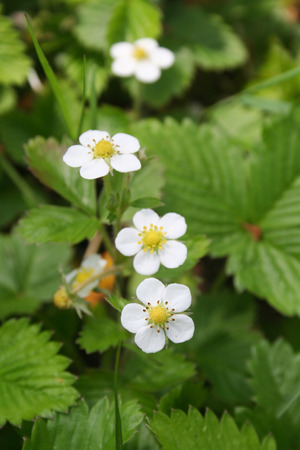 Wild strawberry plants with white flowers in springtime. Fragaria vesca in bloom