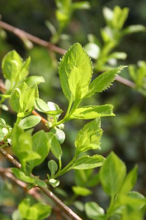 Green fresh leaves of Forsythia bush in springtime in the garden