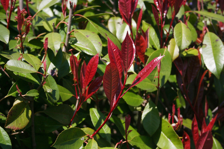 Red leaves of Red Robin Photinia bush. Photinia x fraseri hedge in the garden