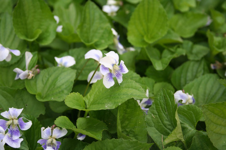 Close-up of white and purple violets in bloom. Viola plants in the garden