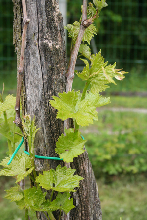Vine branch with fresh green leaves in springtime in the vineyard