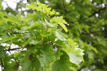Fresh green oak leaves growing on branch. Quercus tree in springtime