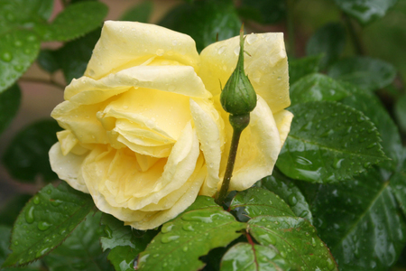 Yellow rose flowers on bush covered by rain drops in springtime. Rose bush in the garden