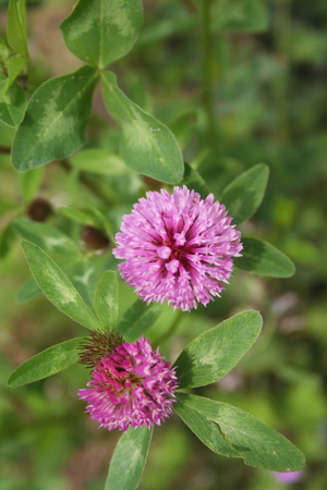 Pink clover flowers in the meadow. Trifolium pratense plant in bloom