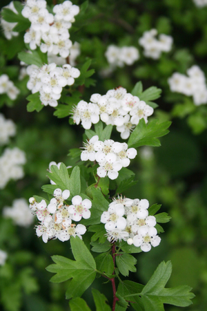 Hawthorn branch with beautiful white flowers. Crataegus monogyna
