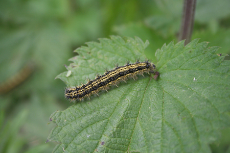 Black caterpillar eating a green Nettle leaf in the meadow
