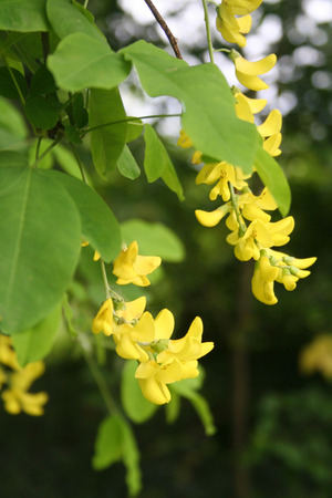 Golden shower tree with yellow flowers on branch. Cassia fistula in bloom in springtime