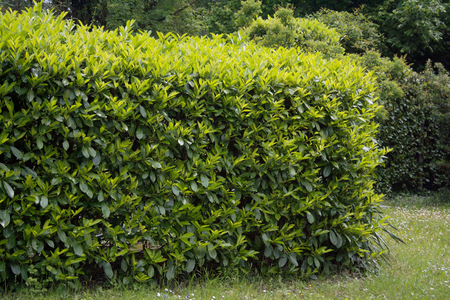 Young fresh green leaves of Cherry laurel hedge growing in springtime. Prunus laurocerasus hedge with new leaves