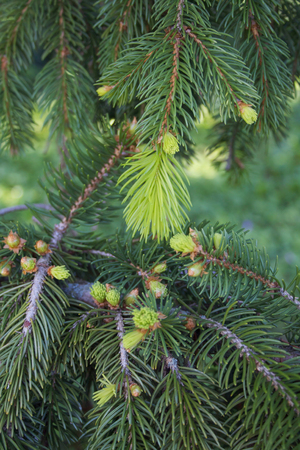 Pine tree branches with fresh new green leaves in springtime Zdjęcie Seryjne
