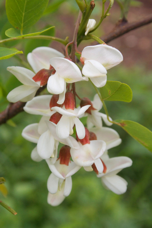 Black locust white flowers on branch. False acacia flowers. Robinia pseudoacacia tree in bloom in springtime