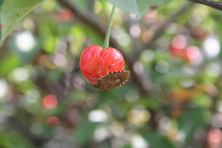 Brown Marmorated shield bug on sour cherry fruit in the orchard. Halyomorpha halys insect on fruit.
