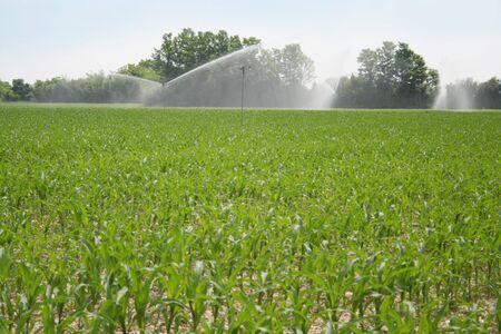 Irrigation system watering corn field in summer season. Irrigating corn field Reklamní fotografie