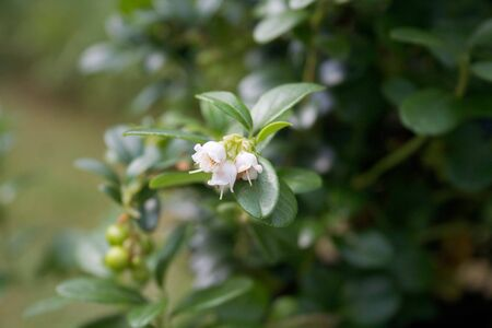 White flowers on a Cowberry or Fowberry bush in the garden. Vaccinium vitis-idaea bush in bloom 写真素材