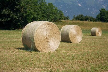 Dry hay bales in the meadow. Alfalfa field harvested on summer in northern Italy