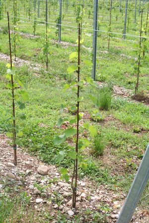 Young vine plant growing in the vineyard in northern Italy. Vineyard on summer Banco de Imagens