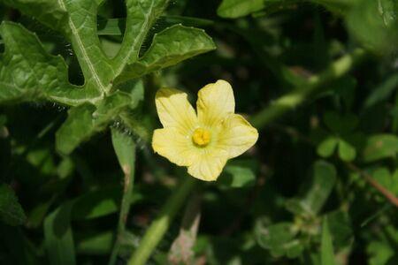 Watermelon pale yellow flower on plant. Citrullus lanatus
