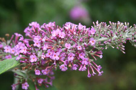Close-up of Buddleja davidii pink flower on branch. Buddleja davidii or Butterfly bush in bloom on summer Фото со стока