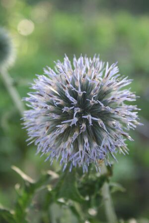 Blue flowers of echinops. Globe thistles plant in the garden