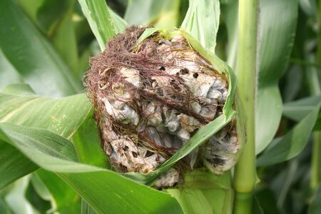 Corn smut. Ustilago maydis disease on corn plant in the field. Fungal disease on a corn cob