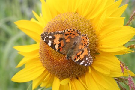 Orange and black butterfly on a yellow sunflower in the garden. Vanessa cardui butterfly on a Helianthus annuus flower
