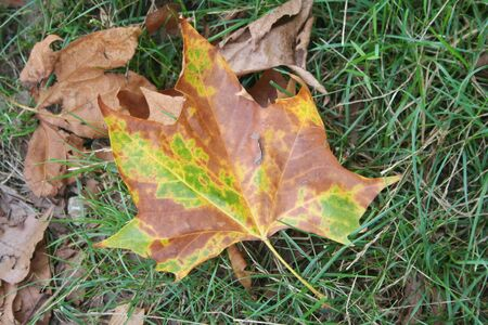 Yellow, brown and green Plane tree leaf on green grass. Platanus occidentalis leaf in the meadow