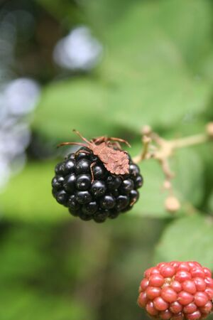 Dock bug insect on a blackberry fruit on summer. Coreus marginatus