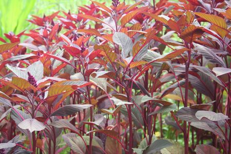 Amaranthus or Amaranth plants with flowers in the sunlight. Amaranthus field