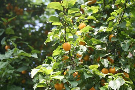 Yellow wild plum growing on branch on summer. Prunus domestica Фото со стока