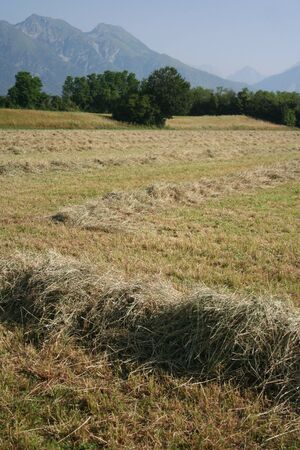 Mowed alfalfa field on summer. Agricultural field in northern Italy