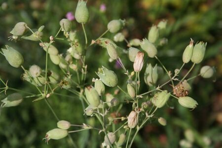 Silene plant with flowers in the meadow on summer. Silene vulgaris also called Bladder campion or Catchfly