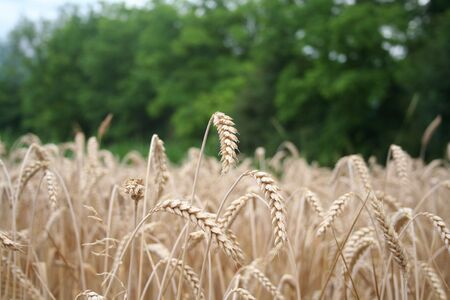 Golden wheat ears in the field. Wheat field ready to harvest on summer