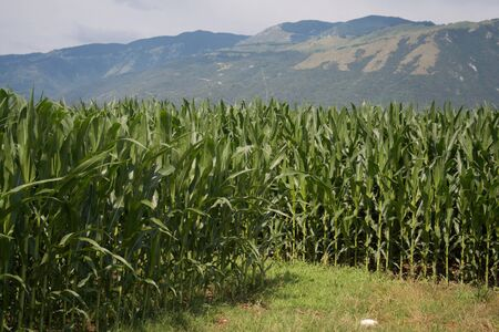 Green corn field on summer. Agricultural field in northern Italy in a sunny day