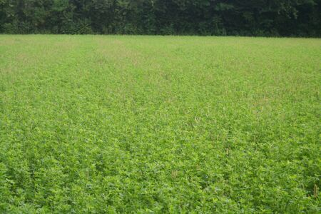 Alfalfa green plants in the field in northern Italy, Medicago agricultural field on summer