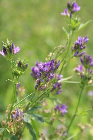 Alfalfa purple flowers in the field. Medicago sativa agricultural field on summer Фото со стока