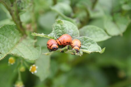 Red larva of the Colorado potato beetle eats potato leaves. Leptinotarsa decemlineata on potato plants Banque d'images