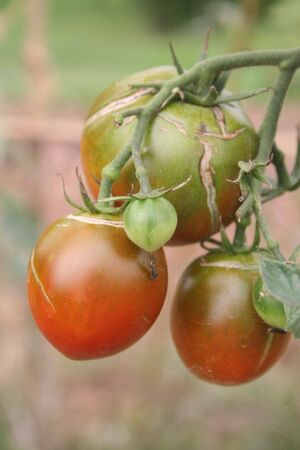 Rotten tomato on the vegetable garden damaged by bad weather