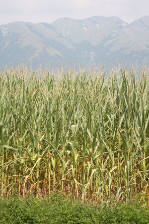 Drought on corn field on summer. Climate Change and Global Warming on agricultural fields in northern Italy 版權商用圖片