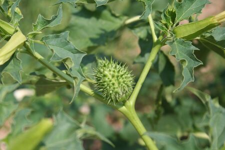 Thorny fruits of Datura stramonium plant. Jimson weed with green unripe fruits on branch