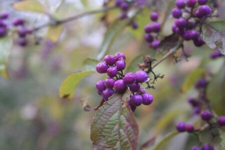 Beautyberry bush with ripe berries on branch under the rain. Callicarpa bodinieri bush on autumn season Stockfoto