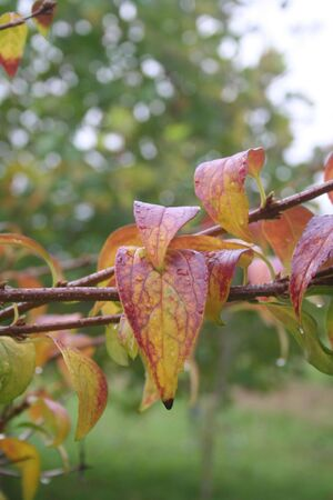 Forsythia bush with yellow and red leaves covered by raindrops. Forsythia bush in the garden on autumn
