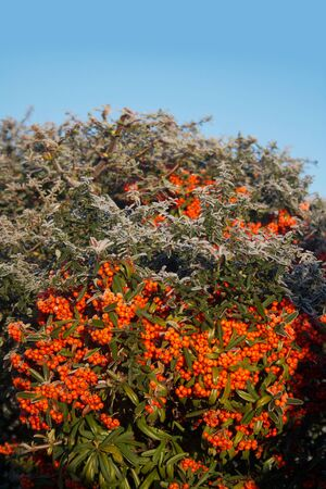 Close-up of Pyracantha branch covered by frost in the garden on winter season. Firethorn bush with ripe berries on winter against blue sky