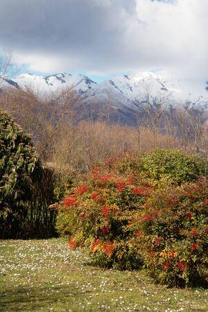 Various bushes in the garden. Heavenly bamboo and Viburnum rhytidophyllum on early springtime 版權商用圖片