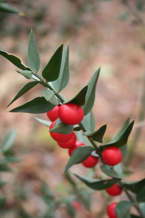 Butchers Broom branches with many ripe red berries. Ruscus aculeatus bush on winter season