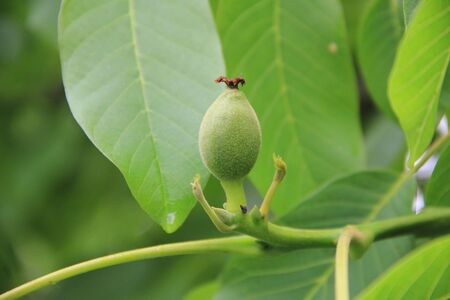 Close-up of green unripe walnuts growing on a tree on springtime. Juglans regia tree