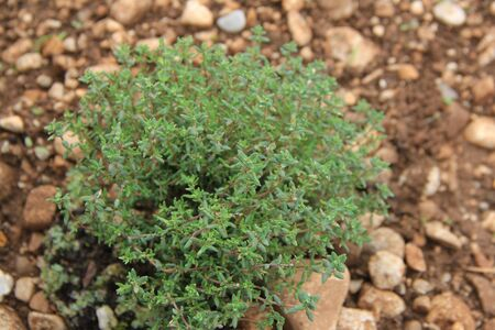 Common Thyme growing in the vegetable garden on springtime. Thymus vulgaris plant Zdjęcie Seryjne