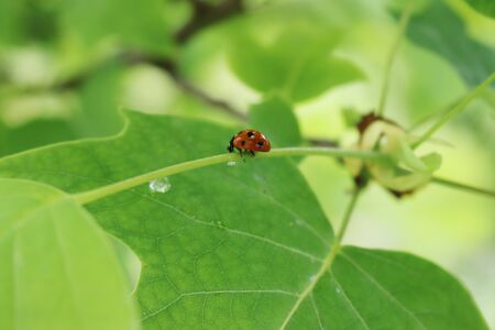 Close-up of a ladybird eating an aphid on a Tulip tree leaf
