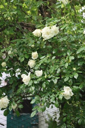 Beautiful climbing white roses on bush in the garden on springtime